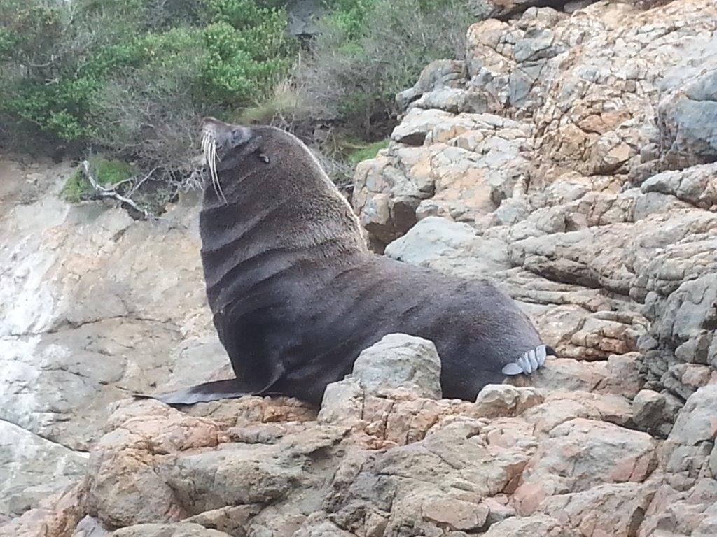 Furseal at Nugget Point.jpg